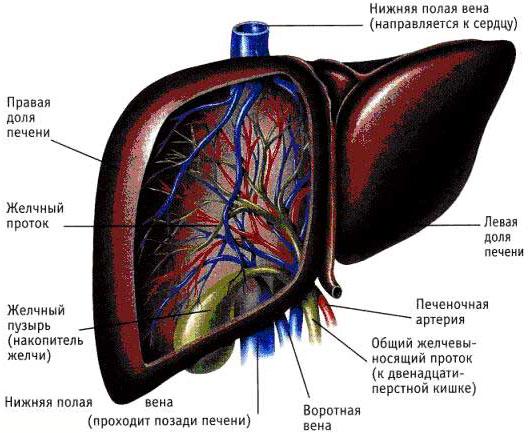 Заболевание гепатоз печени лечение и симптомы