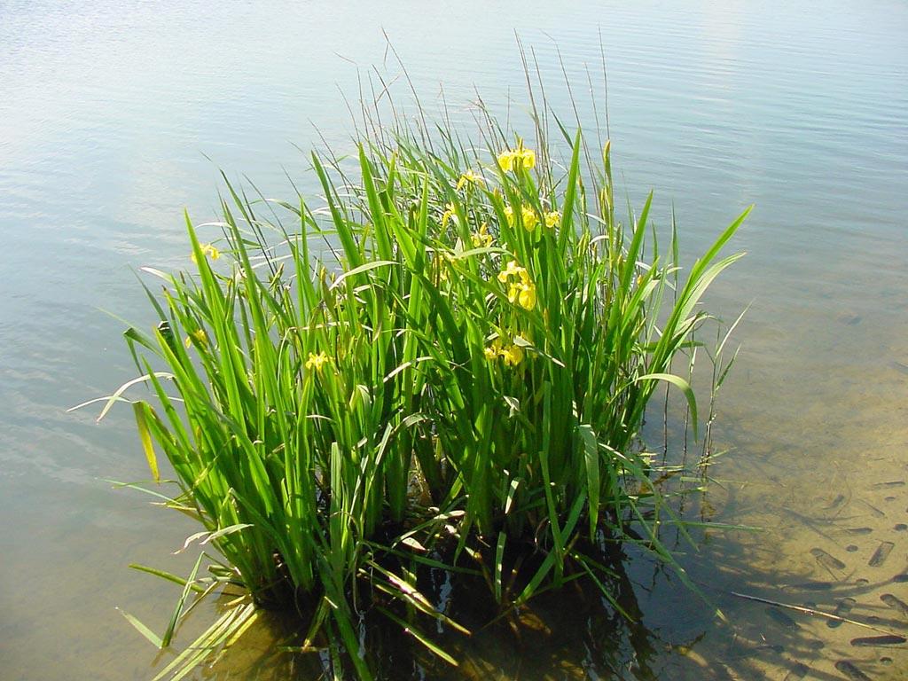 дисперсная добавка аир болотный фото и описание умение заключается том